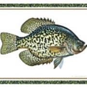 Crappie Print Poster