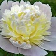 Creamy Petals - Double Peony Poster