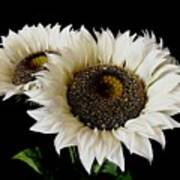 Creamy Sunflowers Poster
