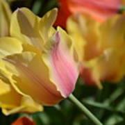 Creamy Yellow Tulip Poster