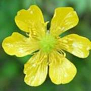 Creeping Buttercup Poster