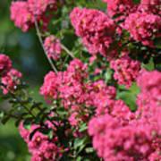 Crepe Myrtle Blossoms 2 Poster