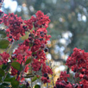 Crepe Myrtle Tree Blossoms Poster