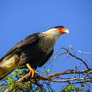 Crested Caracar Poster