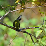 Crested Finchbill 2 Poster
