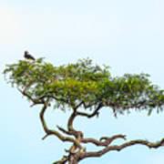 Crested Snake Eagle Poster