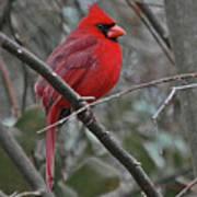 Crimson Cardinal Poster