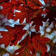Crimson Oak Poster