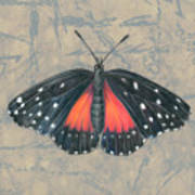 Crimson Patch Butterfly Poster