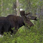 Cross Moose Poster