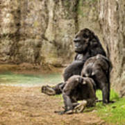 Cross River Pregnant Gorilla And Children Poster