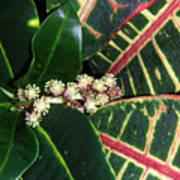 Croton Blooming Poster