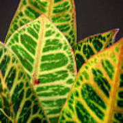 Croton Leaves In Profile Poster