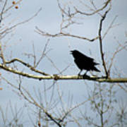 Crow In Sycamore Poster