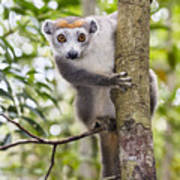 Crowned Lemur Madagascar Poster