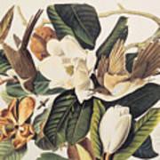 Cuckoo On Magnolia Grandiflora Poster