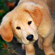 Curious Golden Retriever Pup Poster