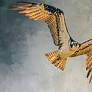 Curious Osprey Poster