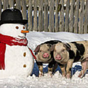 Curious Piglets And Snowman Poster