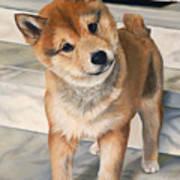 Curious Shiba Inu Poster