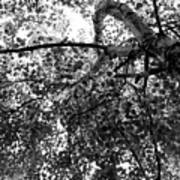 Curving Birch Bw Poster