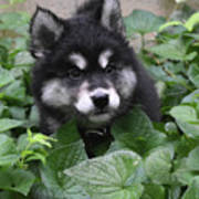 Cute Alusky Puppy In A Bunch Of Plant Foliage Poster