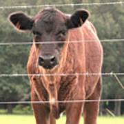 Cute Calf Poster