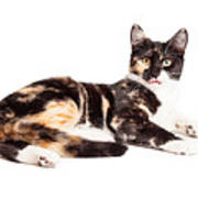 Cute Calico Kiten Sticking Tongue Out Poster