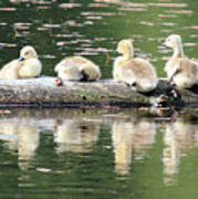 Cute Canadian Geese Chicks Poster