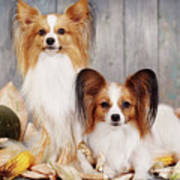 cute couple dogs breed papillon by Iuliia Malivanchuk  Poster