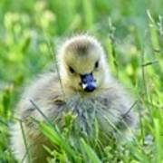 Cute Goose Chick Poster
