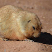 Cute Ground Squirrel Burrowing In The Dirt Poster