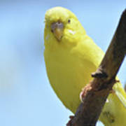 Cute Little Yellow Budgie Bird In Nature Poster