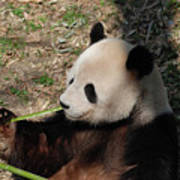 Cute Panda Bear Eating A Green Shoot Of Bamboo Poster