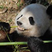Cute Panda Bear With Very Sharp Teeth Eating Bamboo Poster