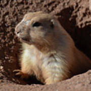 Cute Prairie Dog Climbing Out Of A Hole Poster
