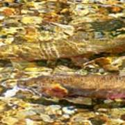 Cutthroat Trout In Clear Mountain Stream Poster