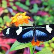 Cydno Longwing Butterfly Poster