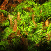 Cypress Knees In Ferns Poster