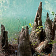 Cypress Knees In The Mist Poster