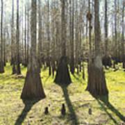 Cypress Sentinals Poster