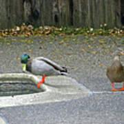 D-a0048 Mallard Ducks In Our Yard Poster