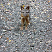 D-a0051-dc Gray Fox Pup Poster