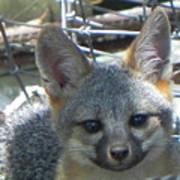 D-a0068 Gray Fox Pup Poster