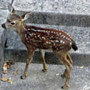 D-a0069 Mule Deer Fawn On Our Property On Sonoma Mountain Poster