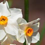 Daffodil Dazzle Poster