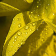 Daffodil Dew Poster
