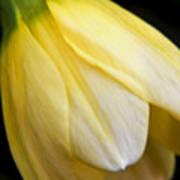 Daffodil Droop Poster