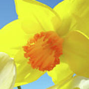 Daffodil Flowers Artwork 18 Spring Daffodils Art Prints Floral Artwork Poster