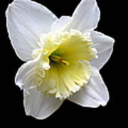Daffodil On Black Poster